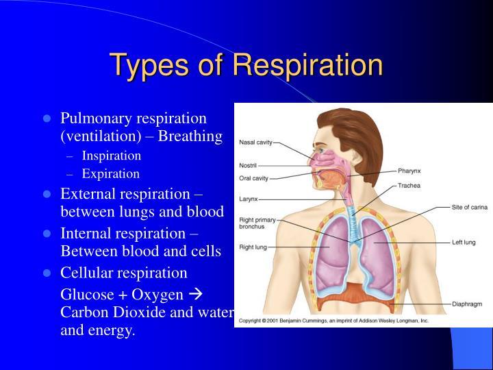 PPT - Respiration PowerPoint Presentation - ID:1711241
