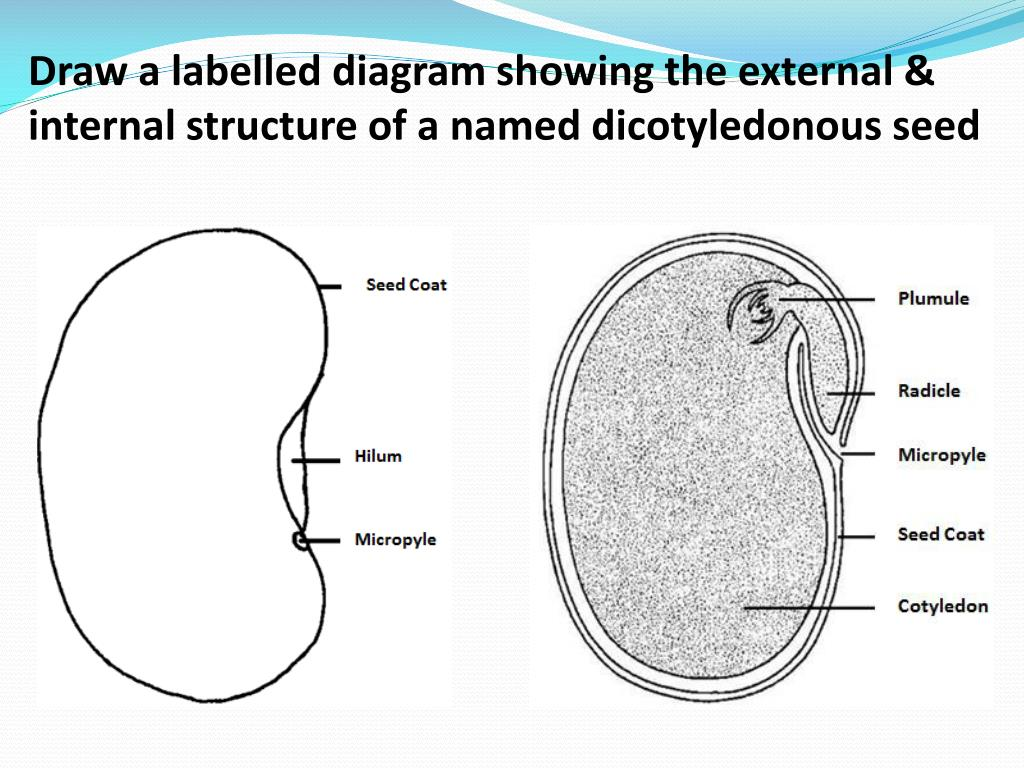 hight resolution of draw a labelled diagram showing the external internal structure of a named dicotyledonous seed