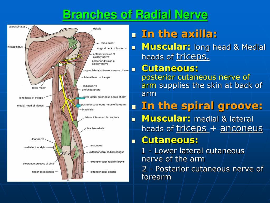 PPT - Brachial Plexus & Radial Nerve PowerPoint ...