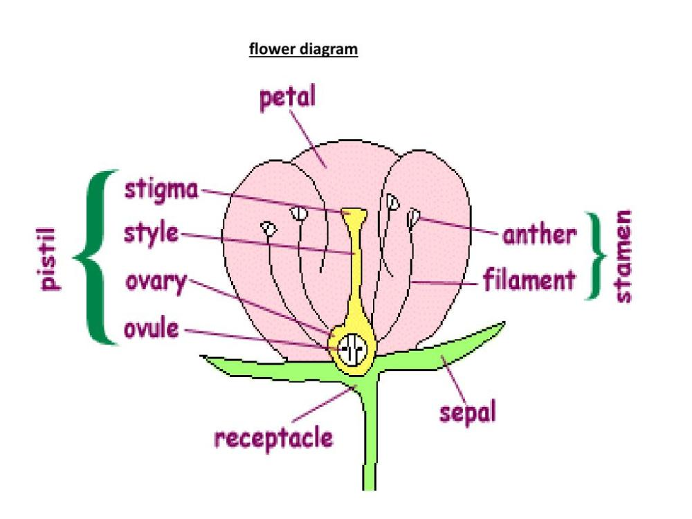 medium resolution of sepalsare the part of the flower that cover the petals when at bud stage they also help protect the flowers buds on an open flower they are the usually