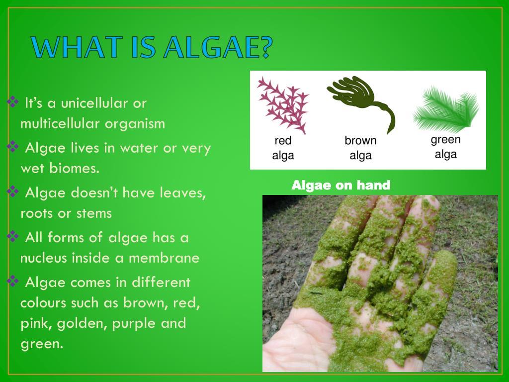 PPT - ALGAE PowerPoint Presentation - ID:1931048