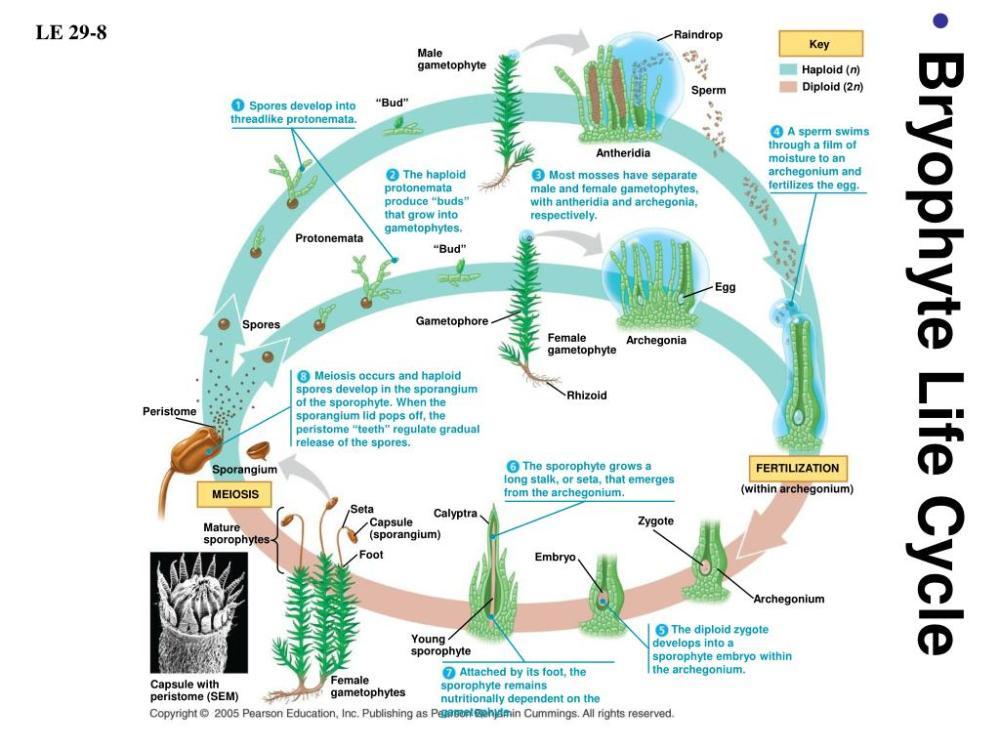 medium resolution of  diploid 2n sperm bud spores develop into threadlike protonemata a sperm swims through a film of moisture to an archegonium and fertilizes the egg