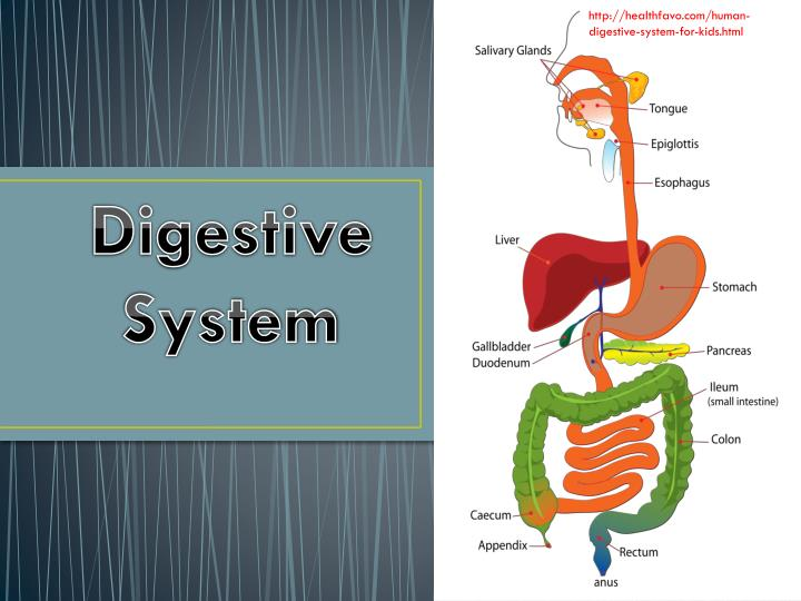 PPT - Digestive System PowerPoint Presentation, free ...