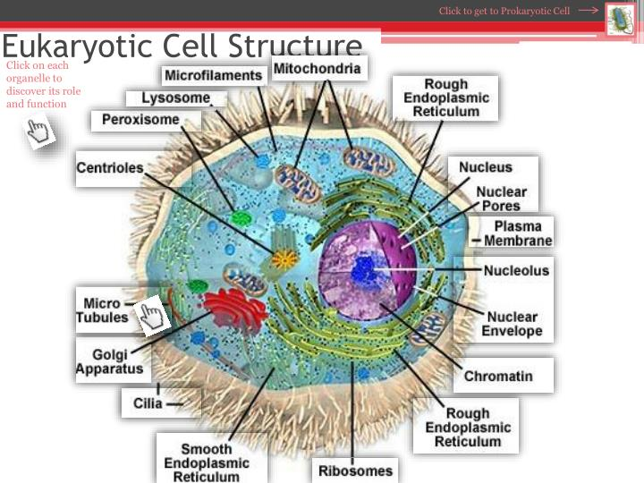 Organelles Cell Diagram Prokaryotic