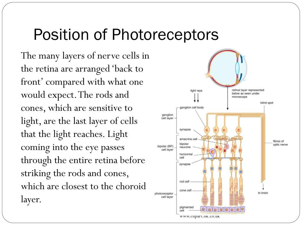 hight resolution of position of photoreceptors