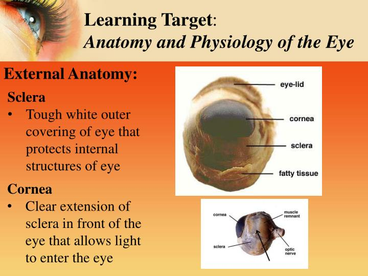 PPT - Sheep's Eye Dissection Inside & Out: PowerPoint ...