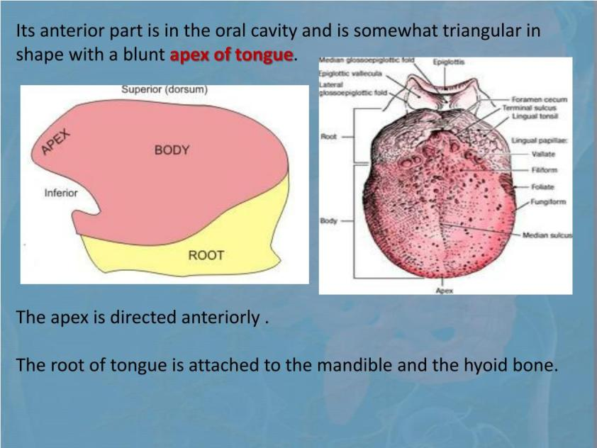 PPT - ANATOMY OF THE DIGESTIVE SYSTEM PowerPoint ...