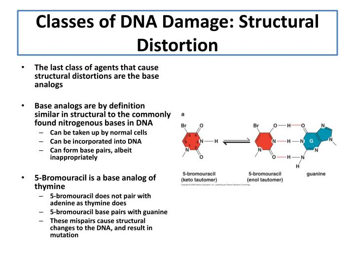 PPT - Chapter 9: The Mutability Of DNA PowerPoint ...