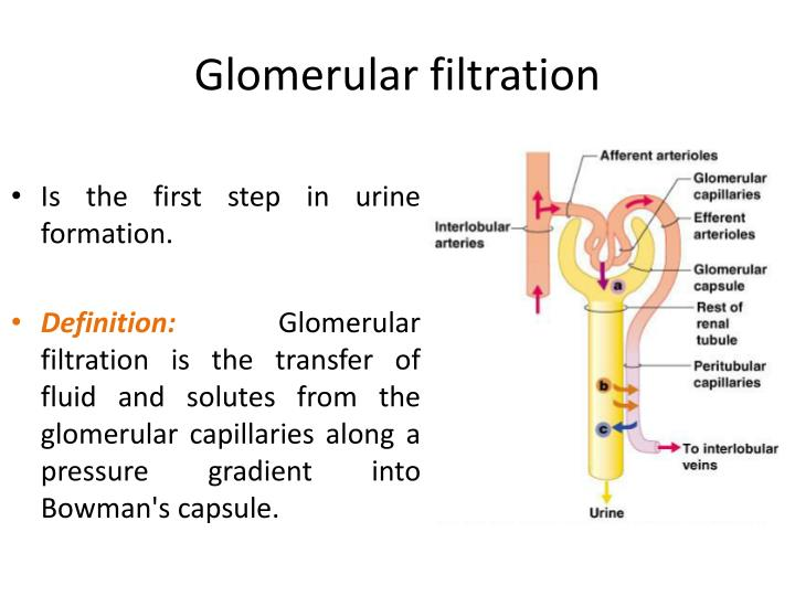 PPT - GLOMERULAR FILTERATION PowerPoint Presentation - ID ...