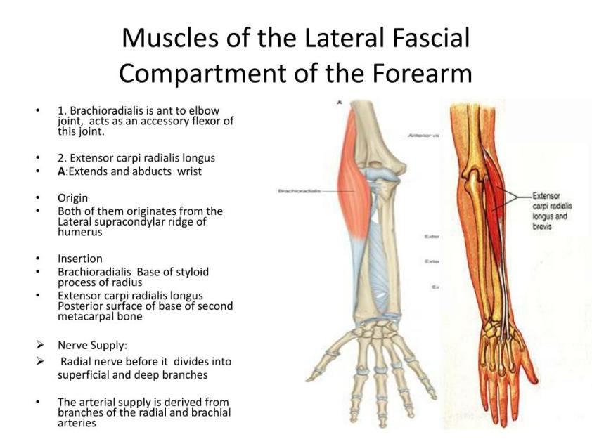 PPT - The Forearm 2 PowerPoint Presentation, free download ...