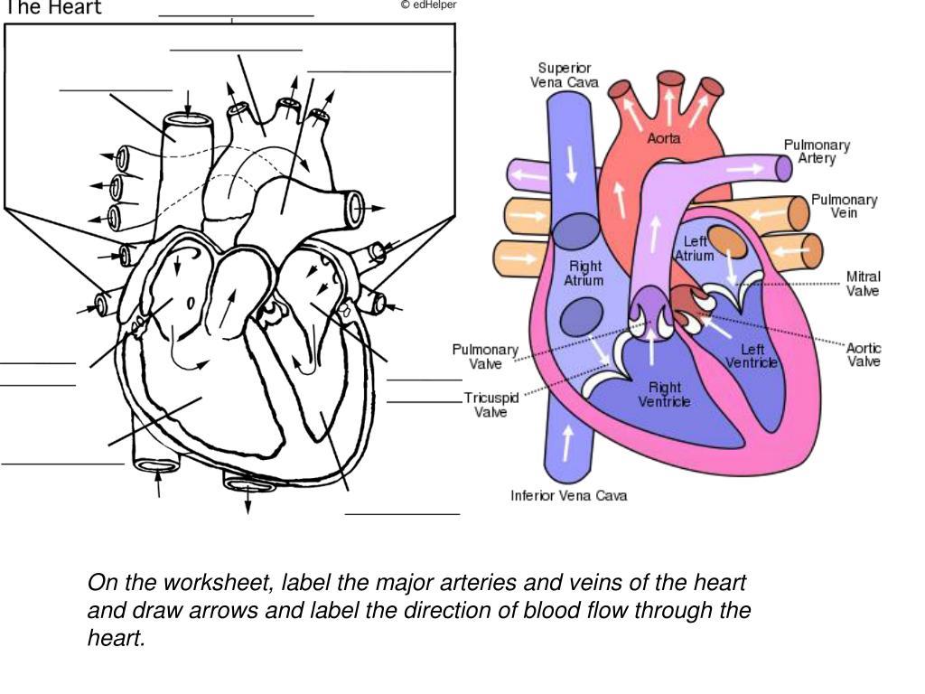 hight resolution of 35 Label Arteries And Veins Worksheet - Labels Database 2020