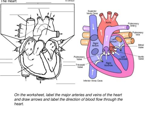 small resolution of 35 Label Arteries And Veins Worksheet - Labels Database 2020