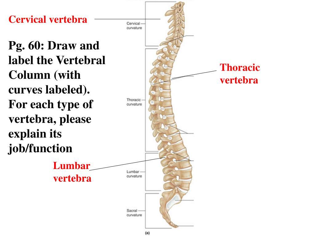 Wiring And Diagram Diagram Of Thoracic Vertebrae And Label