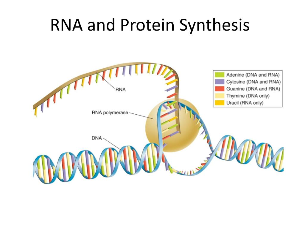 75 Dna Rna Protein Synthesis Review Answer Key