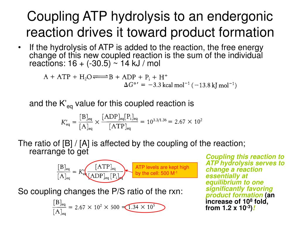 Atp Hydrolysis Is An Endergonic Reaction