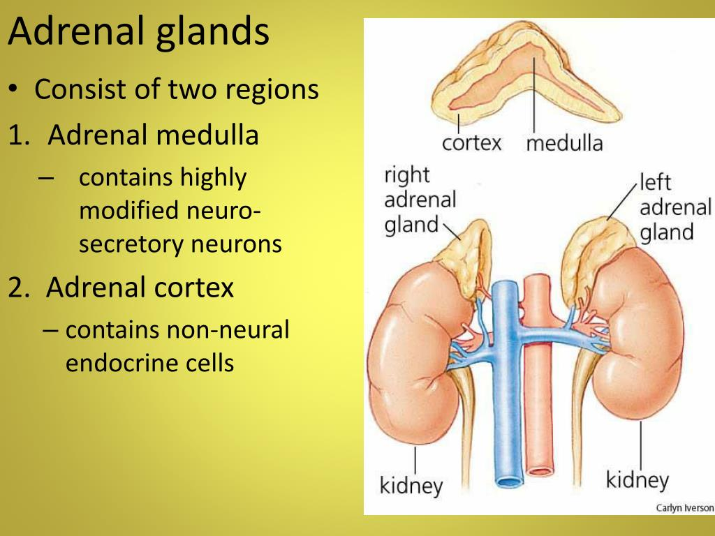 PPT - The Endocrine S ystem PowerPoint Presentation - ID ...