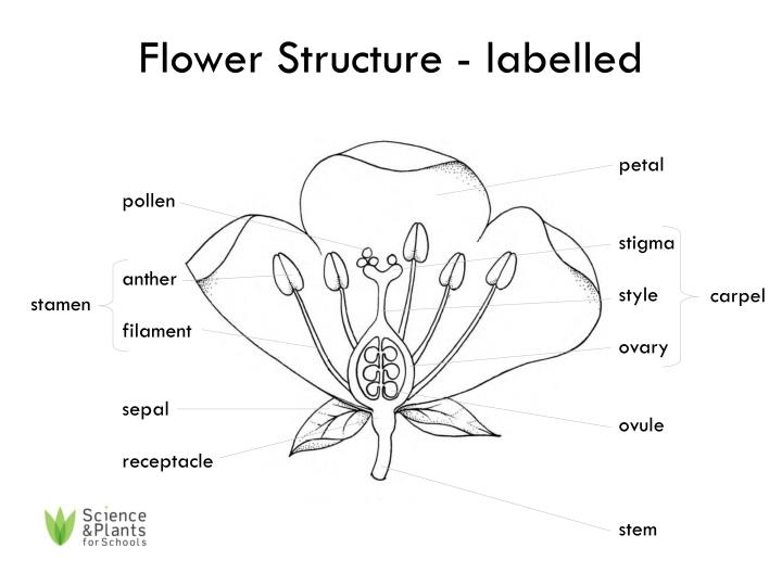 diagram of a flowering plant with label rj11 wiring south africa parts flower www toyskids co ppt structure labelled powerpoint presentation basic to worksheet