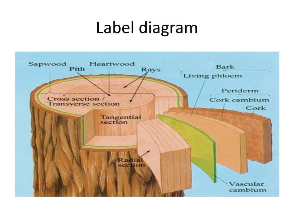 medium resolution of sapwood sapwood is the outer part of the tree responsible for receiving the water and minerals from the roots and conducting them around the tree to the