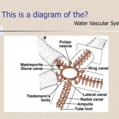 Octopus Water Vascular System Diagram 2001 Nissan Sentra Stereo Wiring Ppt Phylum Class Powerpoint Presentation Id 3081003 This Is A Of The