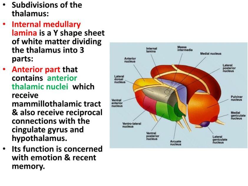PPT - Thalamus, Hypothalamus,Epithalamus PowerPoint ...