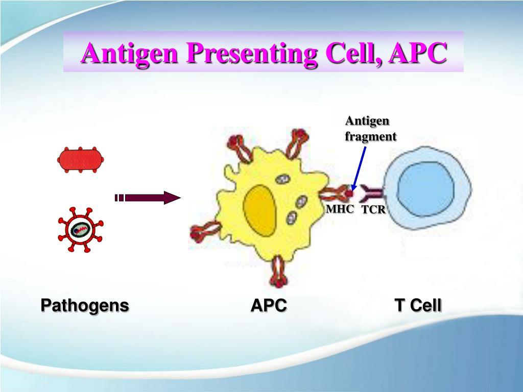 PPT - Antigen Presenting Cell and Antigen Presentation PowerPoint Presentation - ID:3946639