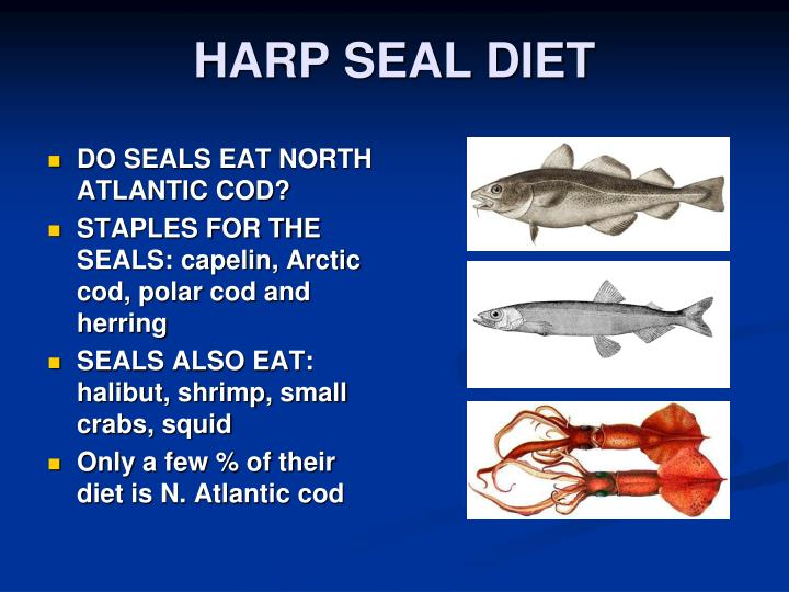 harp seal life cycle diagram mg zr wiring www picturesboss com ppt seals and the canadian hunt ecological jpg 720x540