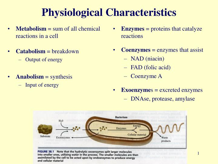 PPT - Physiological Characteristics PowerPoint ...