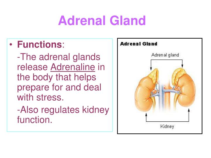 The Endocrine Glands Are Located Where In The Body