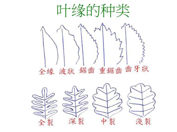 PPT - 第五課:植物的葉 PowerPoint Presentation - ID:5538063