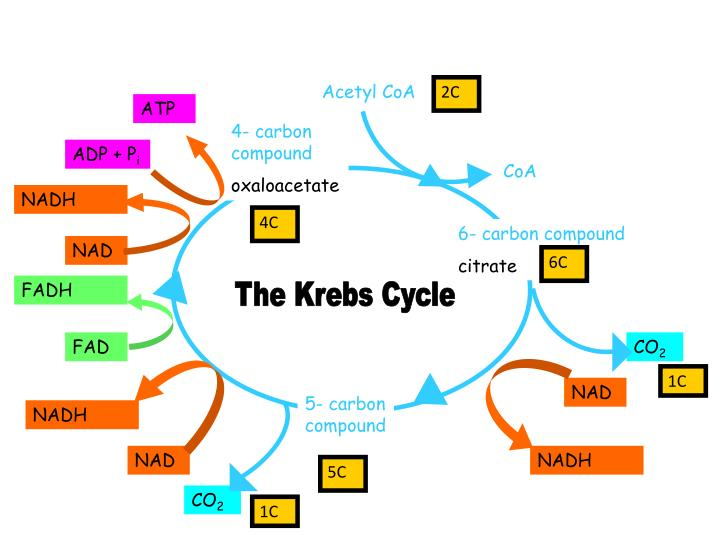glycolysis cycle diagram mitsubishi 3000gt wiring ppt - krebs powerpoint presentation id:5729846