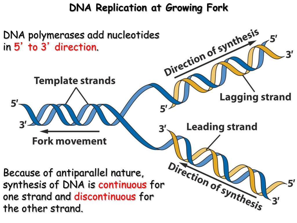 PPT - Molecular Basis for Relationship between Genotype ...