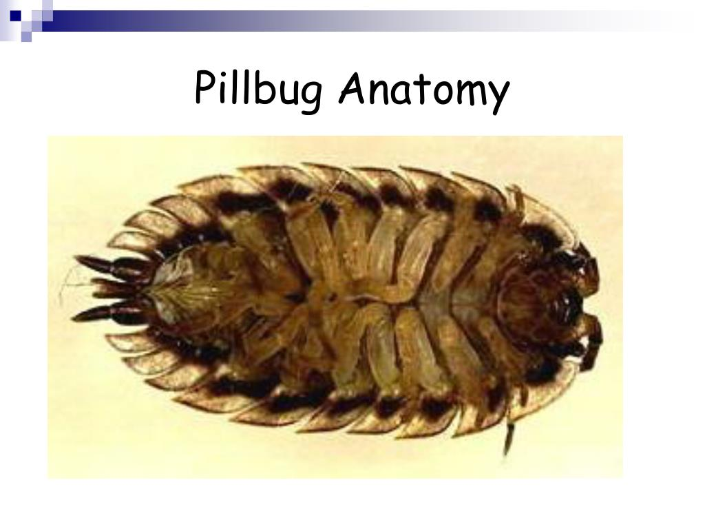 Anatomy Of A Pillbug