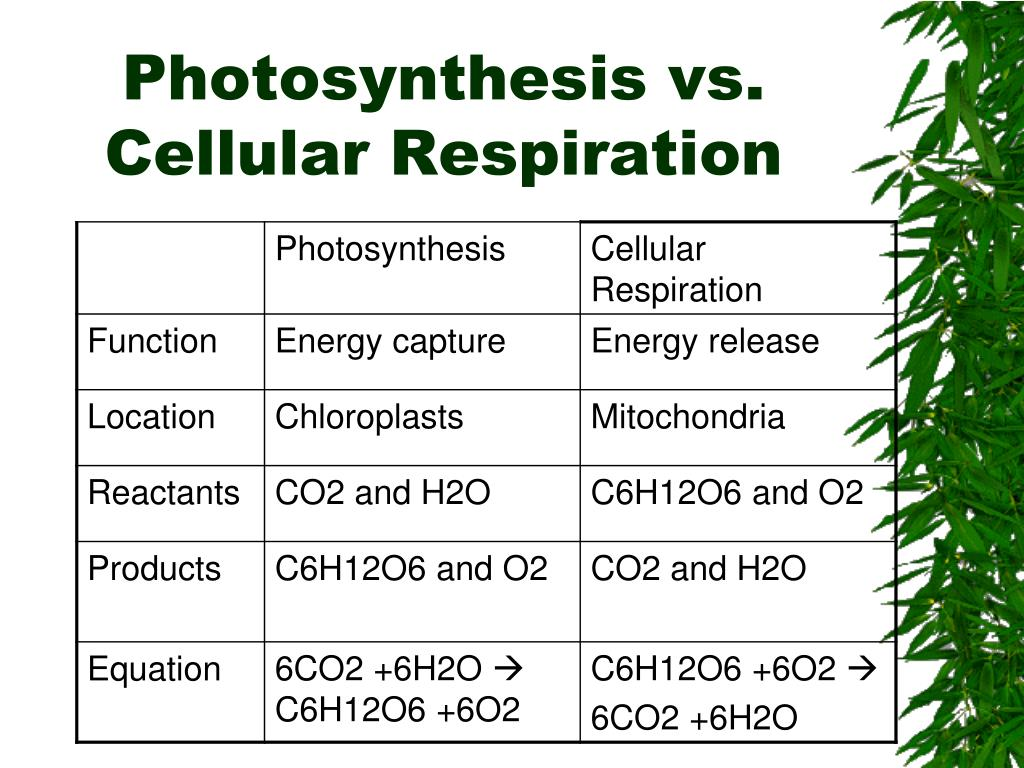 Equation Of Photosynthesis And Cellular Respiration