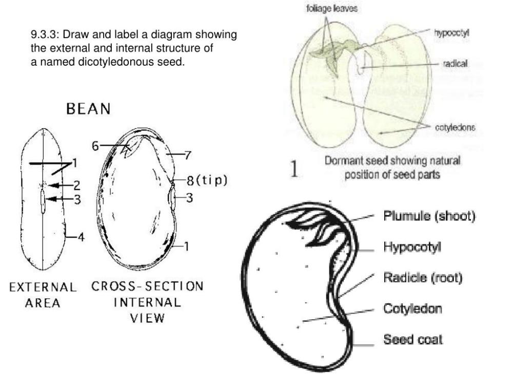 medium resolution of 9 3 3 draw and label a diagram showingthe external and internal structure ofa named dicotyledonous seed