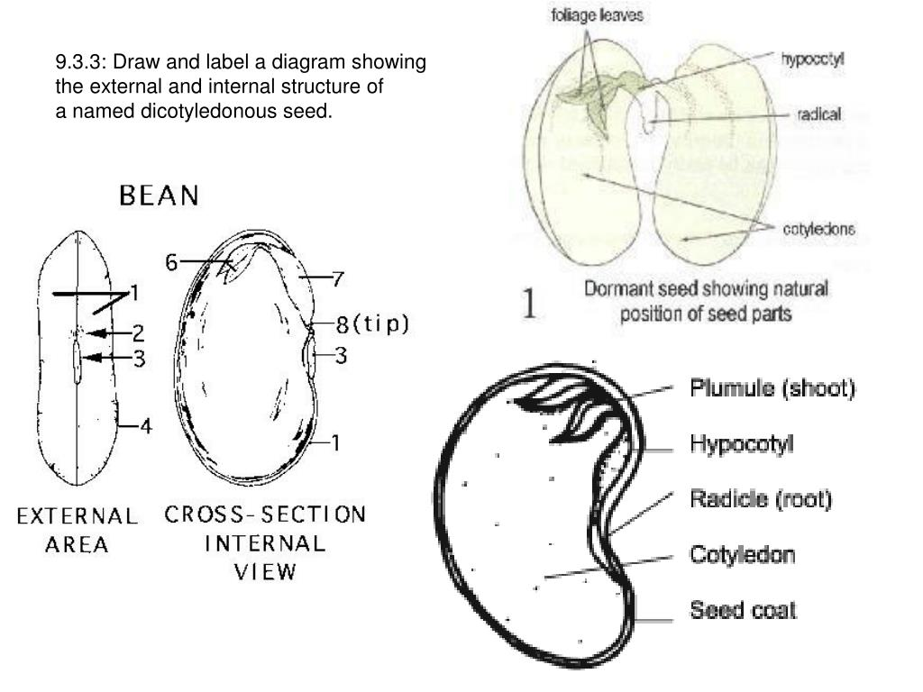 hight resolution of 9 3 3 draw and label a diagram showingthe external and internal structure ofa named dicotyledonous seed