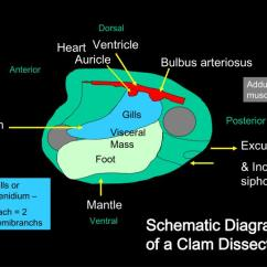Clam Dissection Diagram Led Strobe Circuit Ppt - Phylum Mollusca (5 Classes) Scaphopoda Cephalopoda – Head Foot Powerpoint Presentation ...