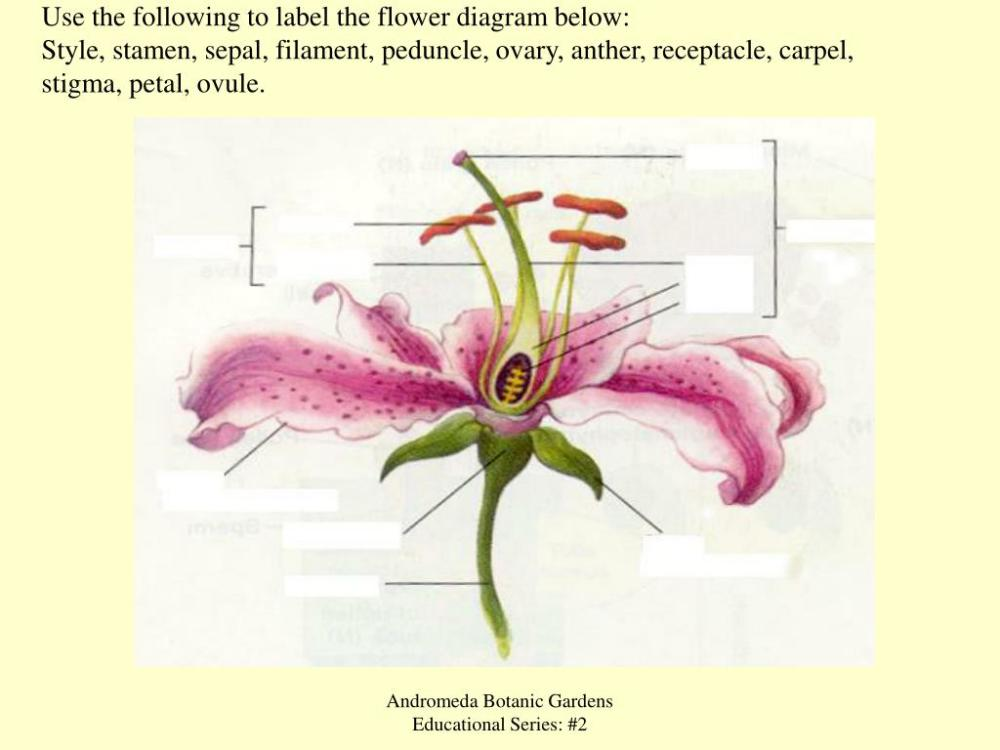 medium resolution of use the following to label the flower diagram below style