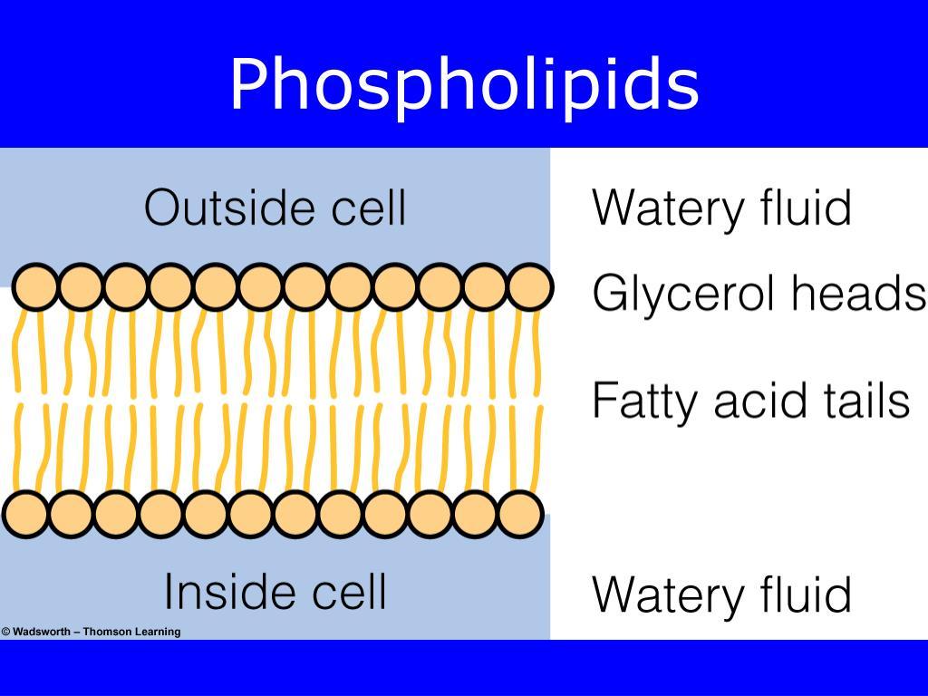 PPT - Lipids PowerPoint Presentation free download - ID ...