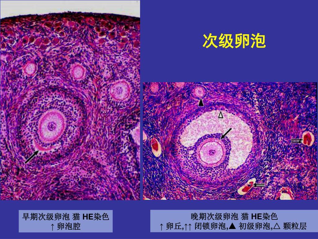 PPT - 女性生殖系統 PowerPoint Presentation, free download - ID:6583826