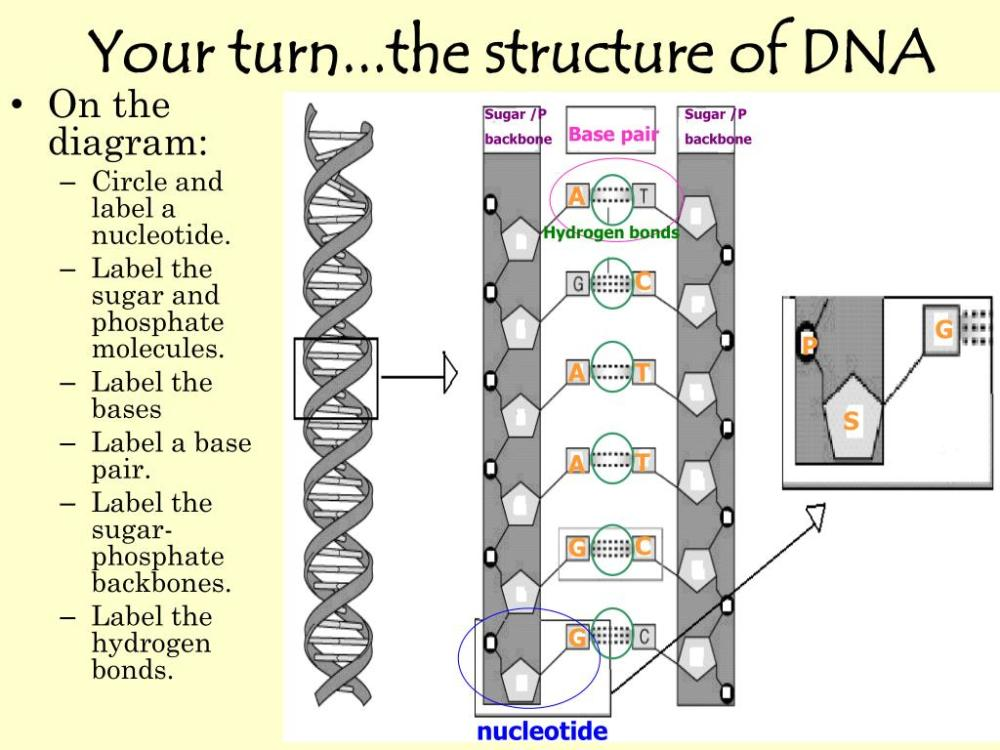 medium resolution of your turn the structure of dna sugar