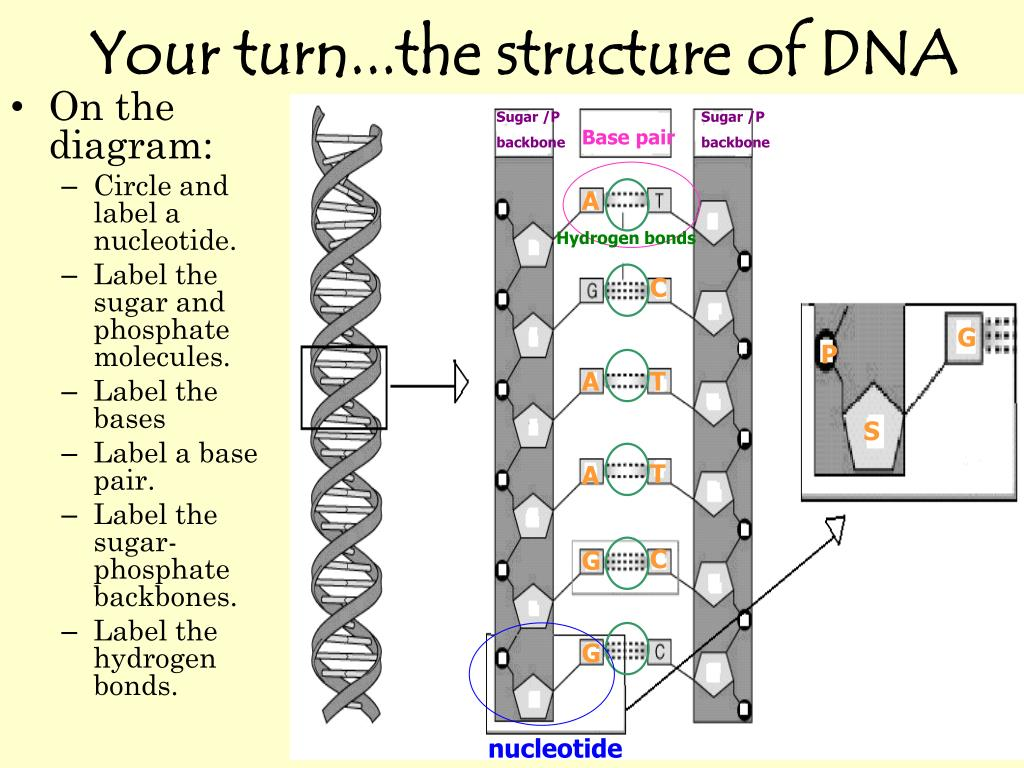 hight resolution of your turn the structure of dna sugar