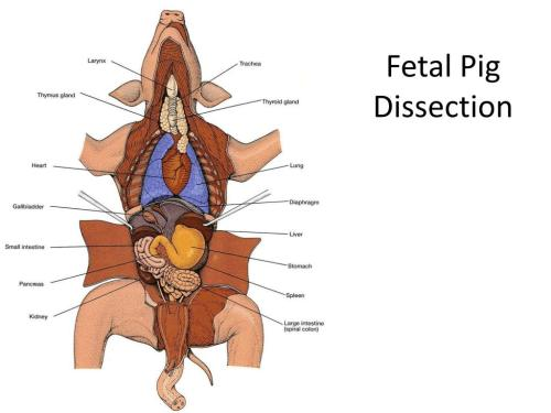 small resolution of fetal pig dissection powerpoint ppt presentation