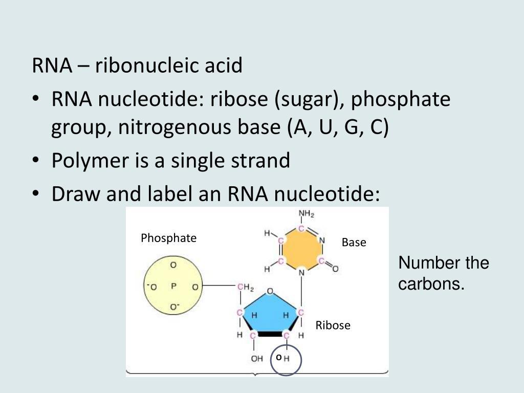 30 Label Nucleotide