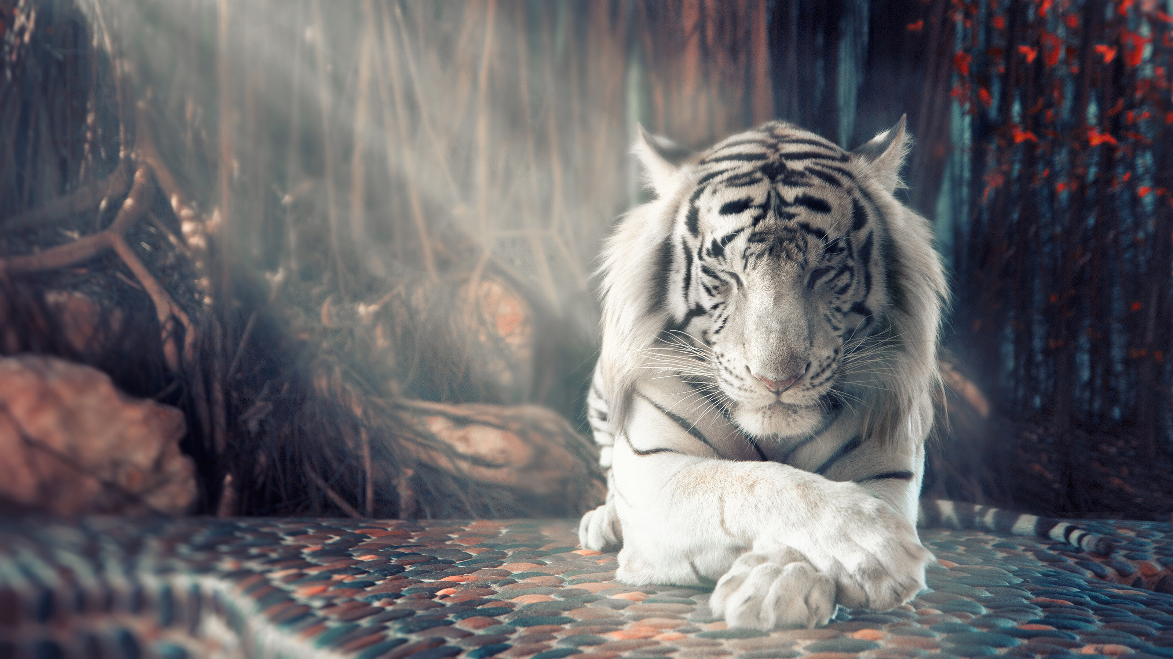 White Tiger Sleeping 4k Wallpaper 4 568