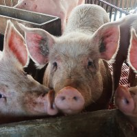 Alibaba Introduces Artificial Intelligence to Pig Farming