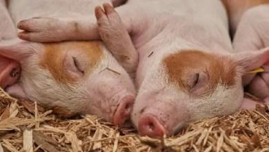 Fièvre porcine en RD: les produits dominicains à base de porc sont interdits sur tout le territoire américain - fièvre porcine