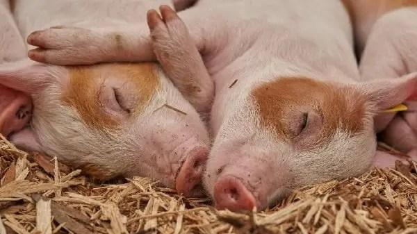 Peste porcine en RD: Un député recommande de brûler tous les porcs - fièvre porcine