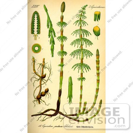 horsetail plant diagram subaru legacy car stereo wiring of plants
