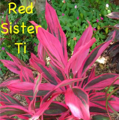Polynesian Produce Stand Live Hawaiian Ti Log Red