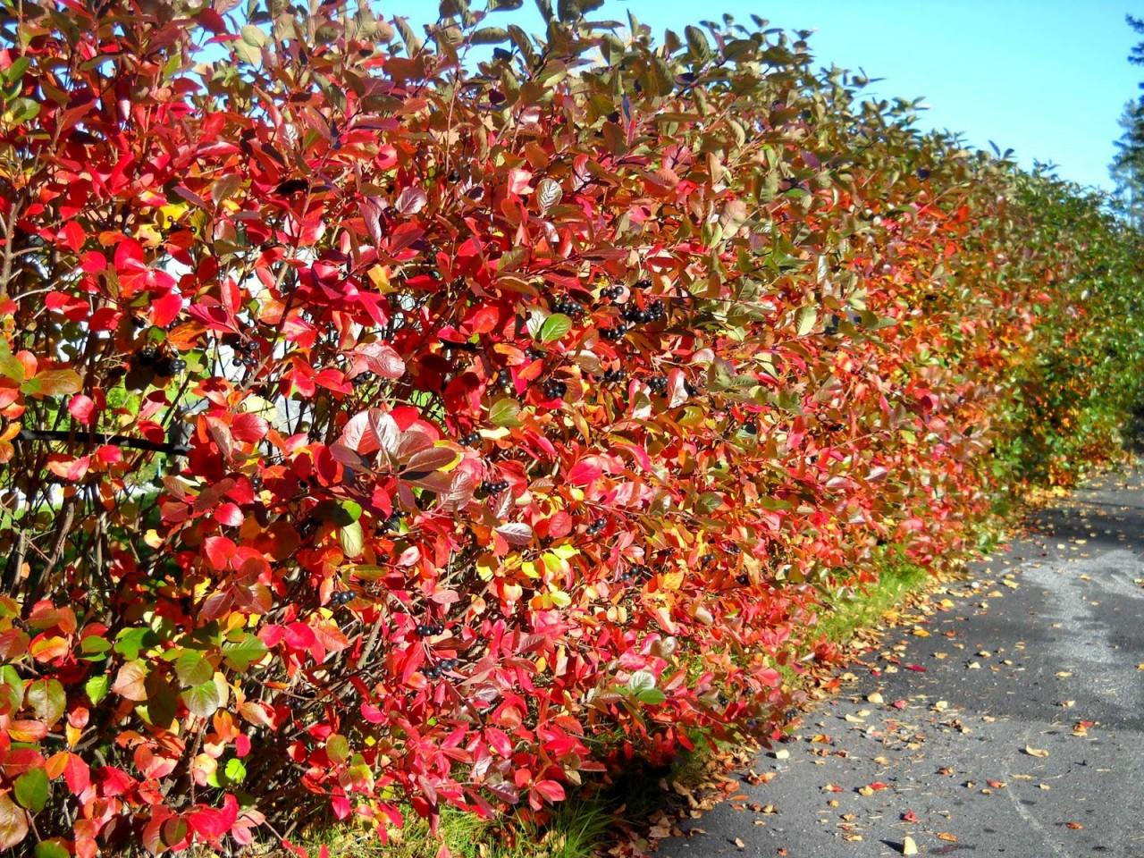 Image result for aronia melanocarpa autumn magic